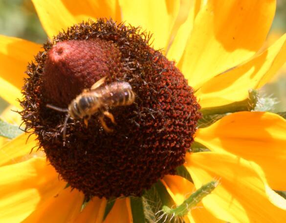 蜜蜂采蜜实拍片段