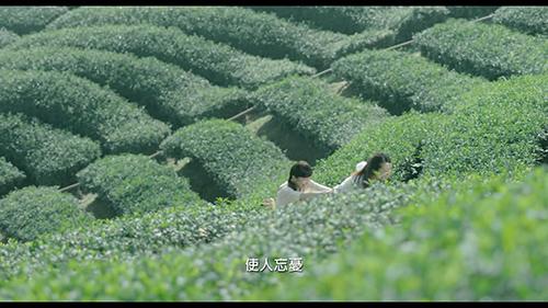 参观茶山,茶叶制作展示视频素材